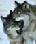 Canis_lupus_albus