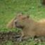 Capybarablog