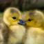 ChirpingBirds