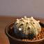id:Eriocactus