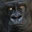 id:Gorillan