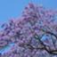 id:Jacaranda