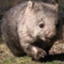 Kotaro_wombat