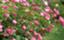 id:Nishimura_Rose_Garden