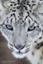 Panthera_uncia