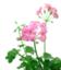 id:Pelargoniumpeltatum