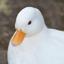 Poke_duck