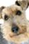Powerful-terrier