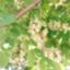id:Ranunculus_129