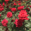 Rose1224