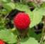 Rubus_hirsutus