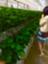 id:SatsukiKumamon