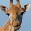 SweetGiraffe