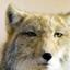 id:Vulpes-ferrilata