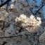 id:akinisakusakura