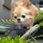 id:arufa0116chiwawa