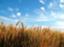 barley_ural