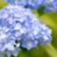 blue_otorihiki