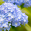 id:blue_otorihiki