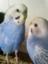 bluebirdnara