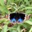 butterflyer