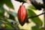 cacao77777