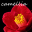 camellie