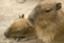 id:capibara-ac