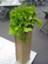 celery_yasai