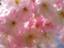 cherrysakura