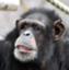 chimpanQ