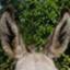 donkey_ears