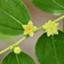 id:eureka-leaf