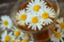 flowering-chamomil