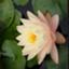 id:flowersahiru