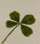 id:four-leaf-Clover