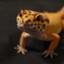geckotan