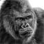gorilla-re-gorilla