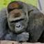 gorilla_fp1