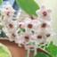 id:hana-hana500