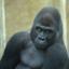healthy-gorilla