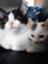 id:heartcat_kopisusu