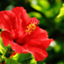 id:hibiscus920