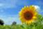 id:himawari0619