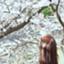 id:honinini