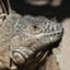iguana_mariko