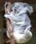 id:koalas