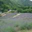 id:lavender38