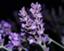 lavenderjun