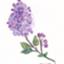 id:lilac-dori